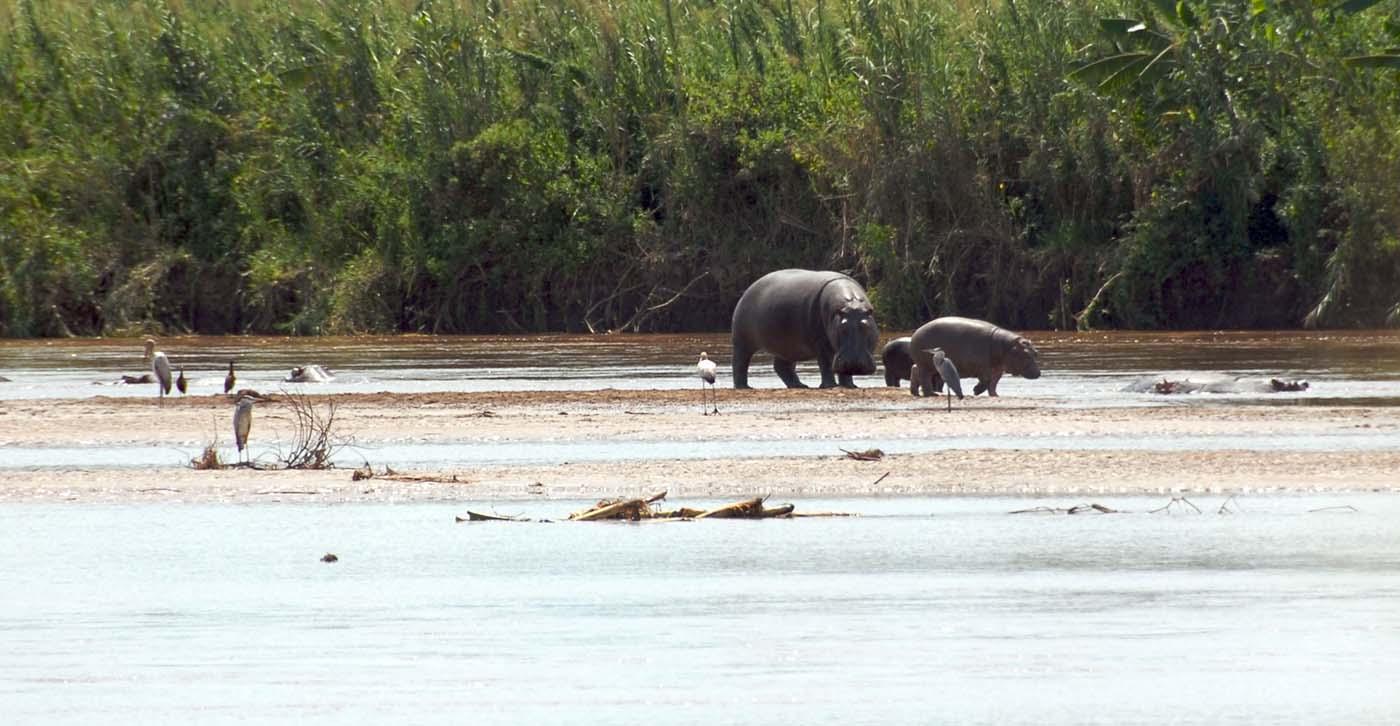 Rusizi_NP_hippopotamus